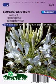 Kattensnor White Queen (Cleome)