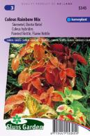 Coleus hybrides Rainbow Mix