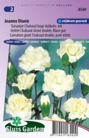 Carnation giant Chabaud double Jeanne Dionis, pure white