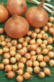 Oignons à Planter Sturon - Oignons, échalotes et ail à ...